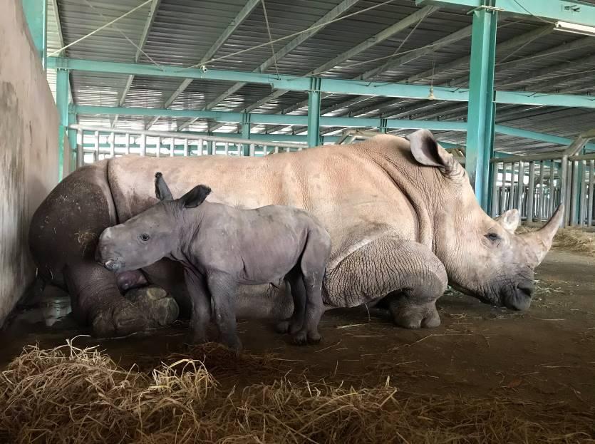 """Vinpearl Safari chào đón bé tê giác mới chào đời với cái tên """"Chiến thắng"""""""