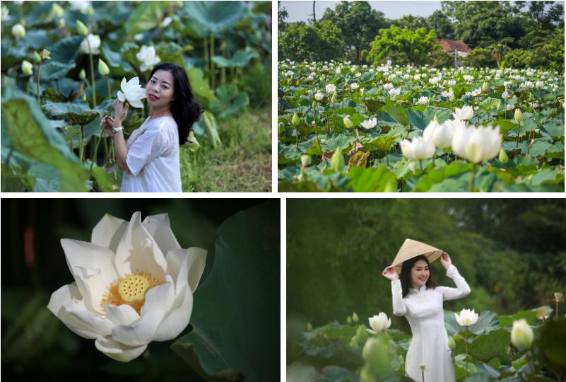 """Cận cảnh đầm sen trắng đẹp hút hồn đang """"gây sốt"""" tại Hà Nội"""