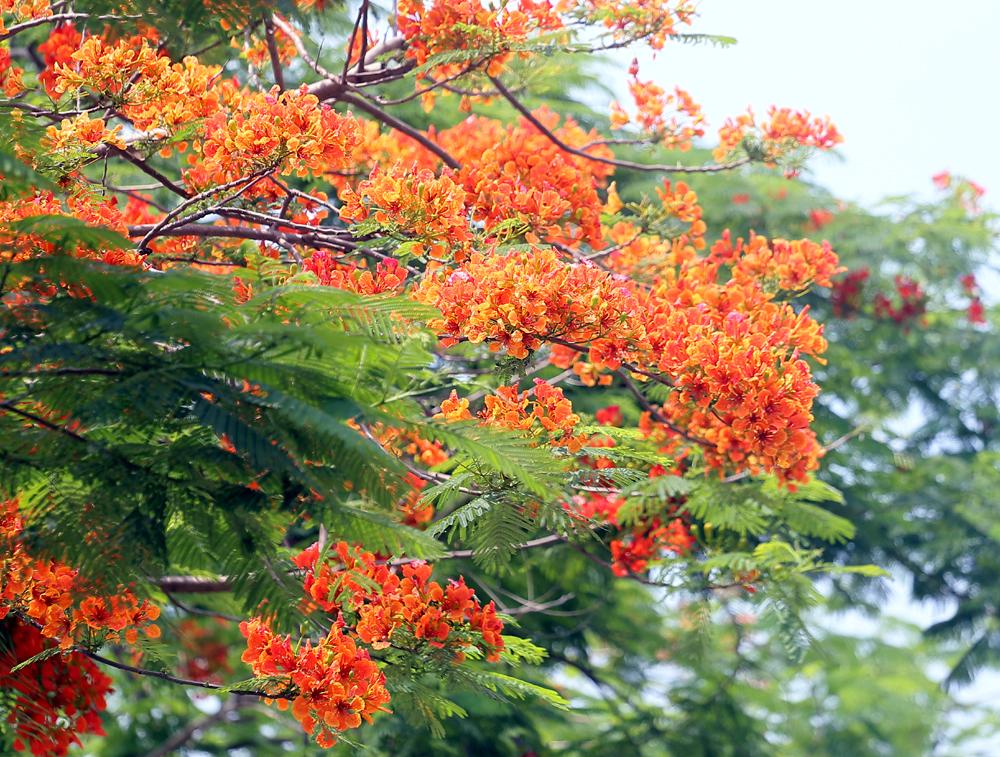 Ngẩn ngơ ngắm hoa phượng vĩ đỏ rực góc trời giữa lòng Hà Nội