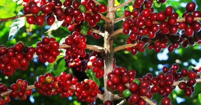 Giá cà phê hôm nay 15/2: Tăng vọt lên mức mới