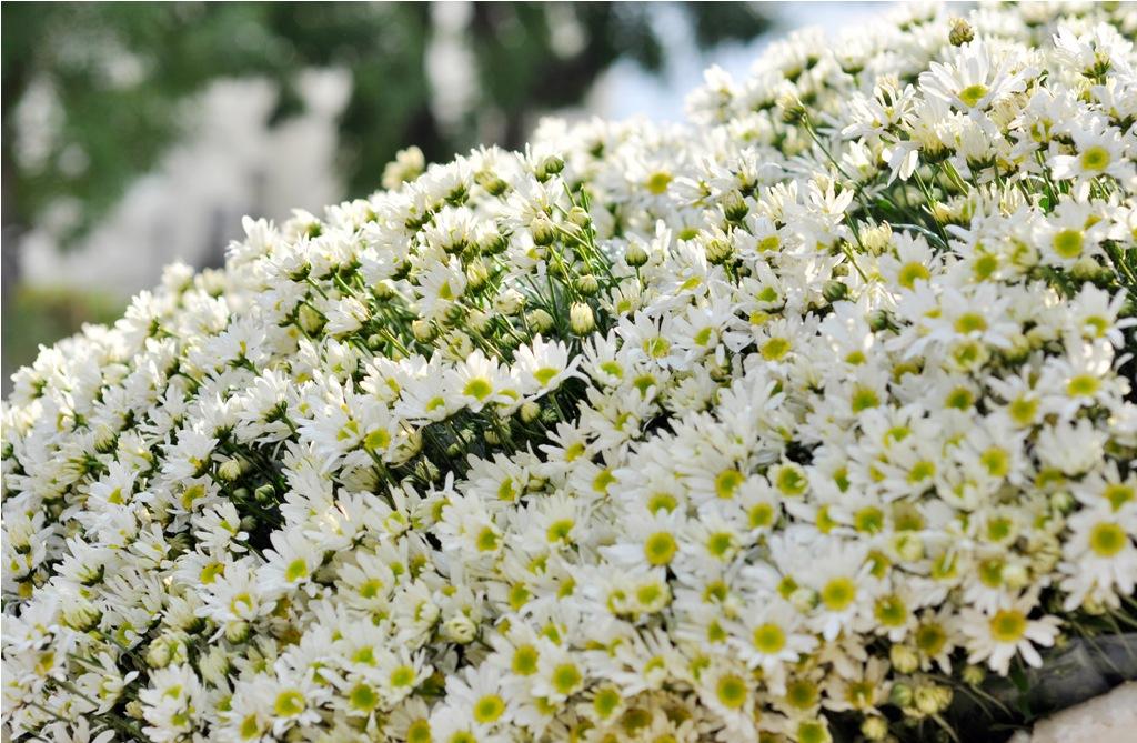 Hà Nội đẹp tinh khôi mùa hoa cúc họa mi về trên phố