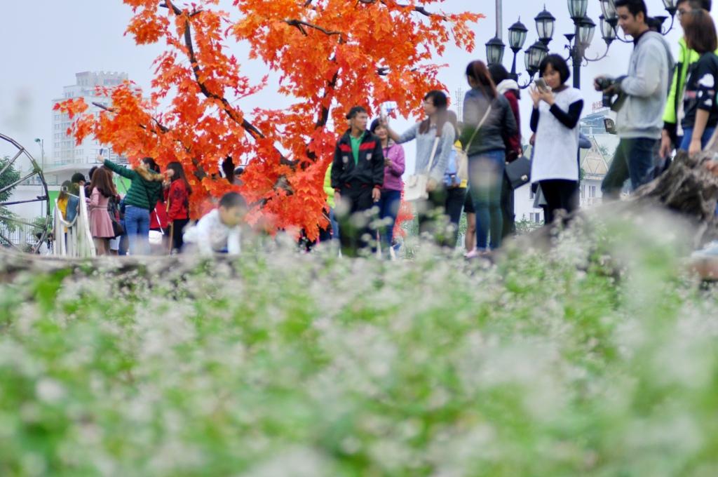 Hà Nội: Chen nhau chụp ảnh với hoa tam giác mạch