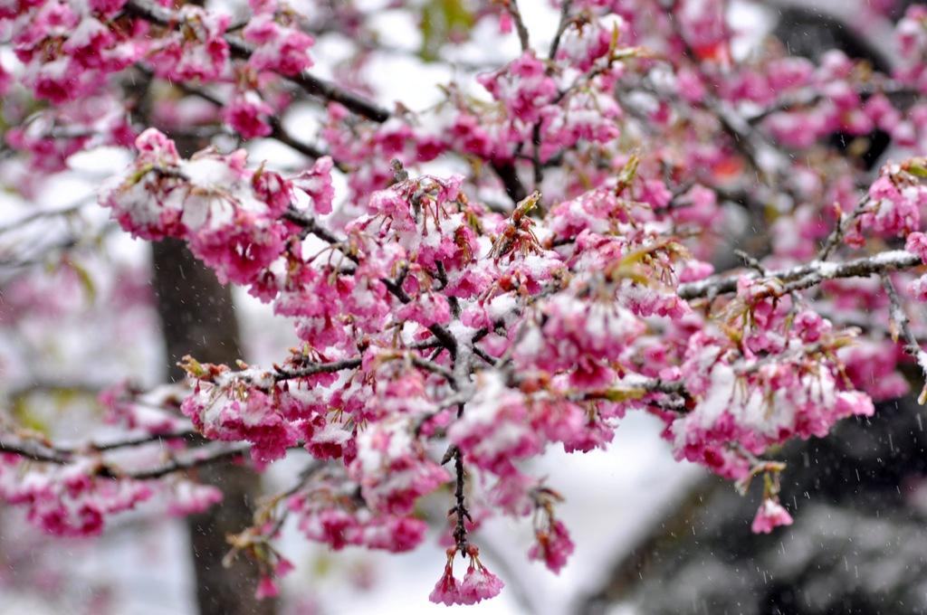 Mê mẩn ngắm hoa anh đào khoe sắc trong băng tuyết ở Sa Pa