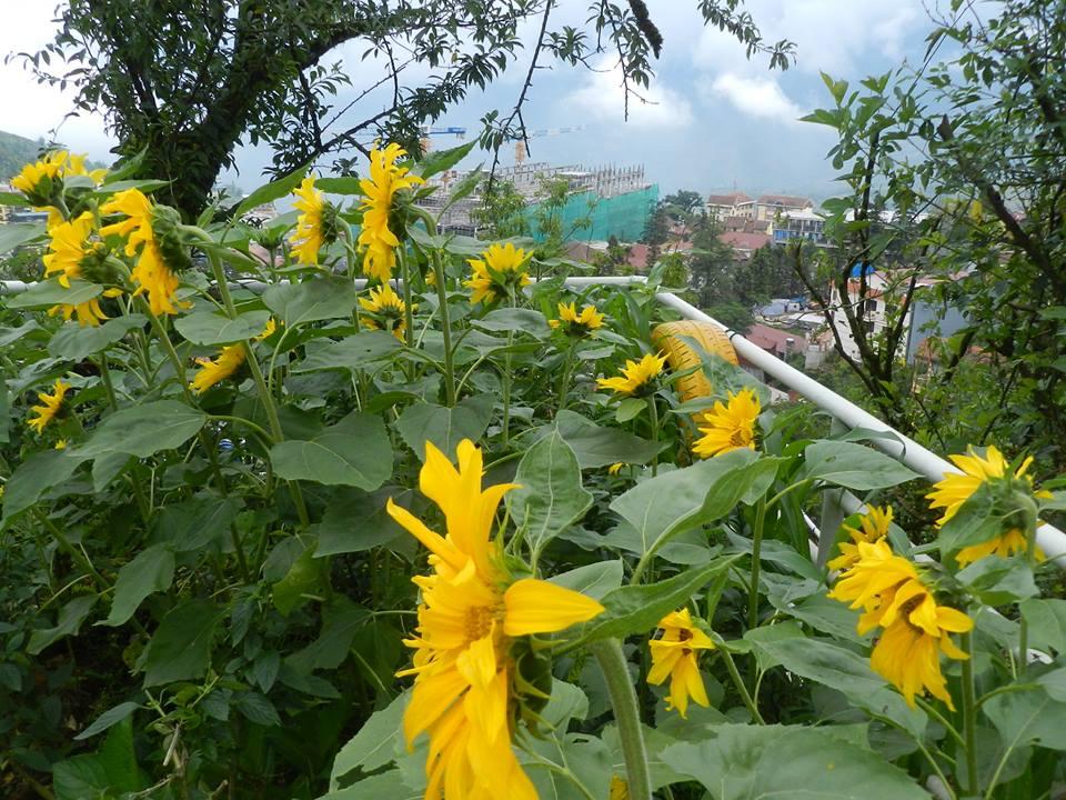 Hoa Hướng dương trong vườn ở Tubotelsapa