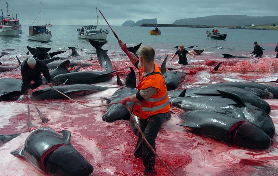 Các động vật này bị săn bắt và tiêu thụ ở một số quốc gia như Nhật Bản, Iceland, Canada, Na Uy. Sự phản đối từ các tổ chức bảo vệ động vật hoang dã và cộng đồng thế giới cũng không chấm dứt được điều này. Thịt cá voi hay cá heo thường được ăn như sashimi, nướng hoặc hầm cùng rau củ. Ảnh:Ibtimes.