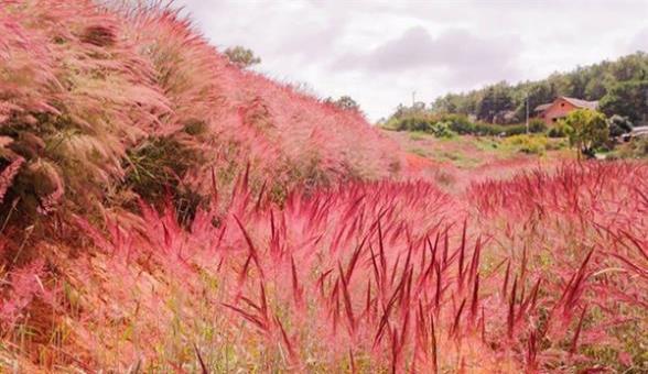 Tháng 11 rủ nhau du lịch Đà Lạt ngắm đồi cỏ hồng đẹp như tranh vẽ