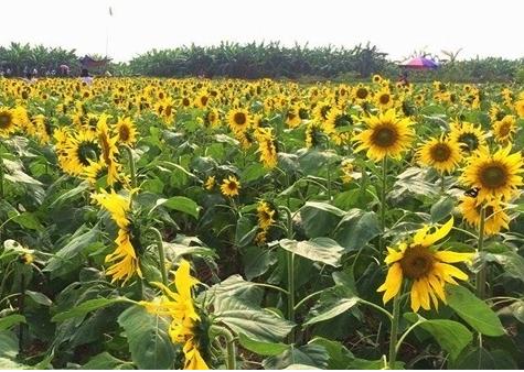 Check in cánh đồng hoa hướng dương nở rộ ngay cạnh Hà Nội