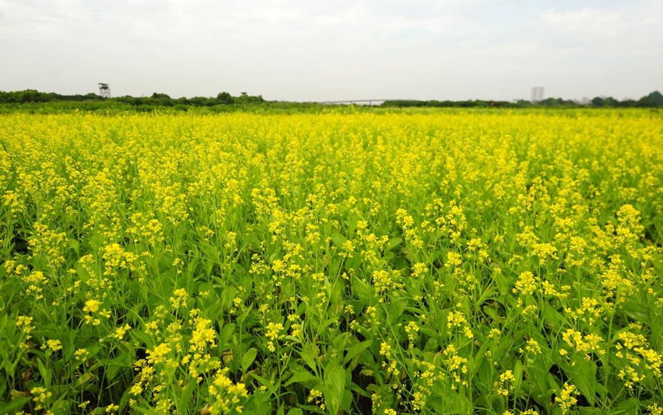 Địa chỉ những cánh đồng hoa cải đẹp ven Hà Nội