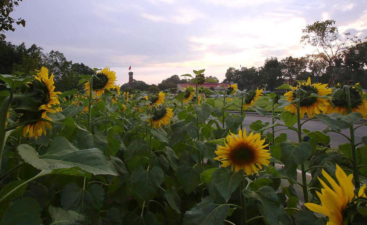 Hoa Hướng Dươn bông to, cánh vàng, nhị đen và luôn luôn hướng về phía mặt trời