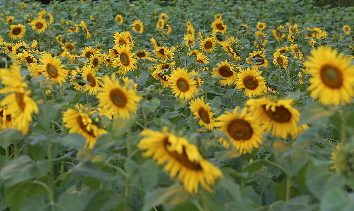 Thỏa thích chụp ảnh cánh đồng hoa hướng dương giữa Hoàng thành Thăng Long