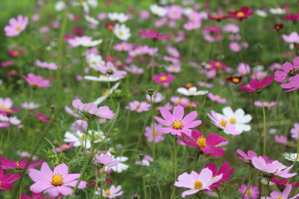 Hoa bướm có những cánh phẳng xòe rộng, mượt mà như nhung, với nhiều màu sắc rực rỡ.