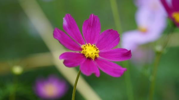 """Những bông hoa bướm màu tím được còn là """"màu tím của vết thương tình yêu""""."""