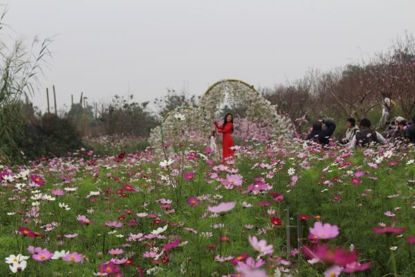 Check in cánh đồng hoa bướm đang nở rộ ở Nhật Tân