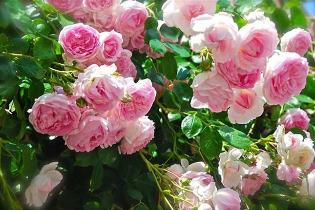 Hà Nội sắp có công viên hoa hồng rộng 22ha