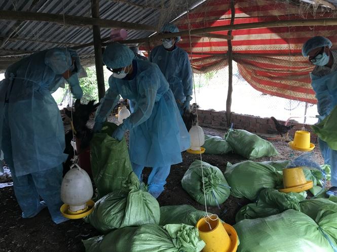 Bạc Liêu: Phát hiện ổ dịch cúm gia cầm tại Bạc Liêu