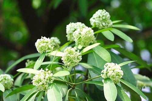 Bài thuốc quý từ các loài hoa chỉ nở vào mùa thu