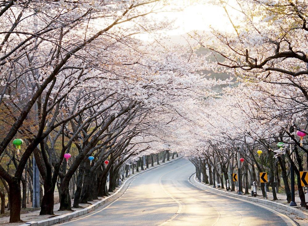 Lịch chính xác thời gian hoa anh đào nở ở Hàn Quốc năm 2018