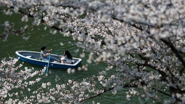 Mãn nhãn ngắm hoa anh đào nở rộ ở Tokyo, Nhật