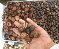 Hạt đậu Lào đắt đỏ có tác dụng chữa bệnh như lời quảng cáo?