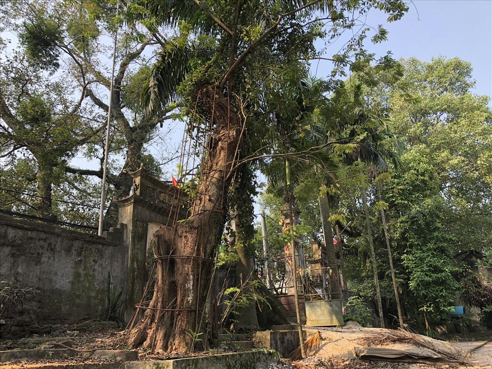 Hà Nội đồng ý cho dân bán đấu giá cây sưa đỏ trăm tỷ