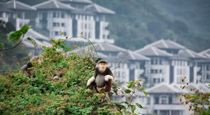 Loài khỉ chân nâu quý hiếm ở