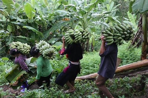 Mạnh dạn trồng chuối tây, thoát nghèo bền vững, vươn lên khá giả