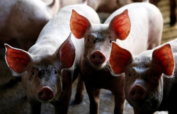 Ngành chăn nuôi thế giới khốn đốn vì chiến tranh thương mại Mỹ - Trung