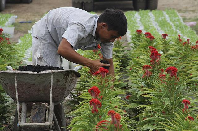 Các nhà vườn đang thuê công nhân tất bật chăm sóc, tỉa cành, bón phân... để kịp cung ứng hoa cảnh cho thị trường vào dịp Tết Nguyên đán. Ảnh: Infonet