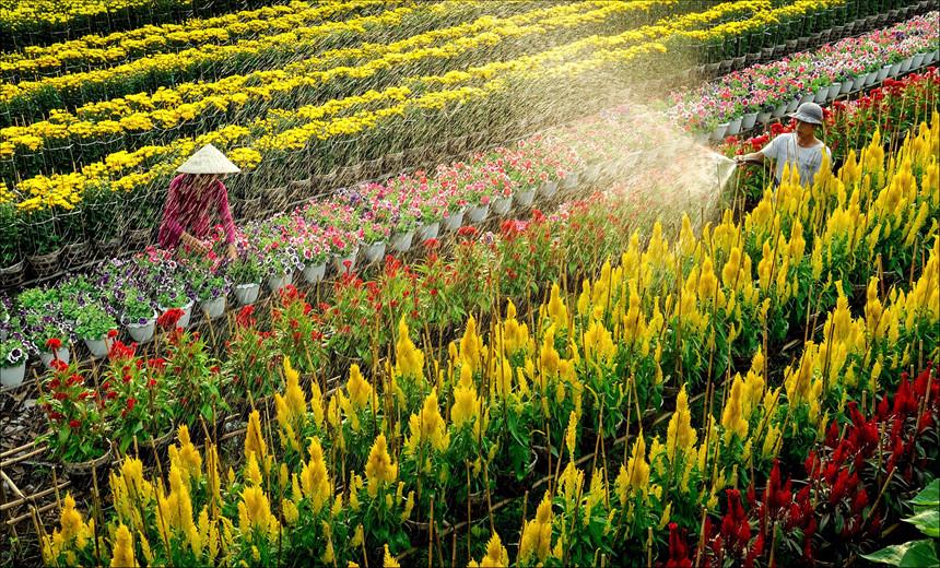 Làng hoa Bà Bộ - Cần Thơ khoe sắc những ngày cận Tết