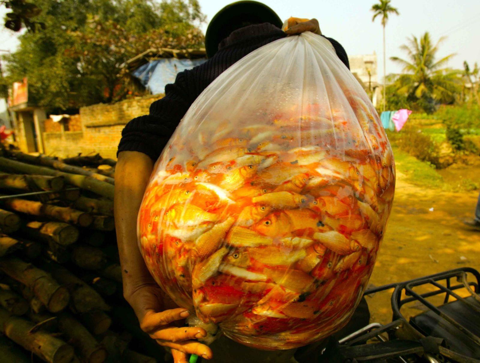 Sau khi bắt từ ao lên, cá được cho vào túi nilon lớn, bơm oxy để chuyển về các bể chứa, sẵn sàng phục vụ lái thương đến mua cá.