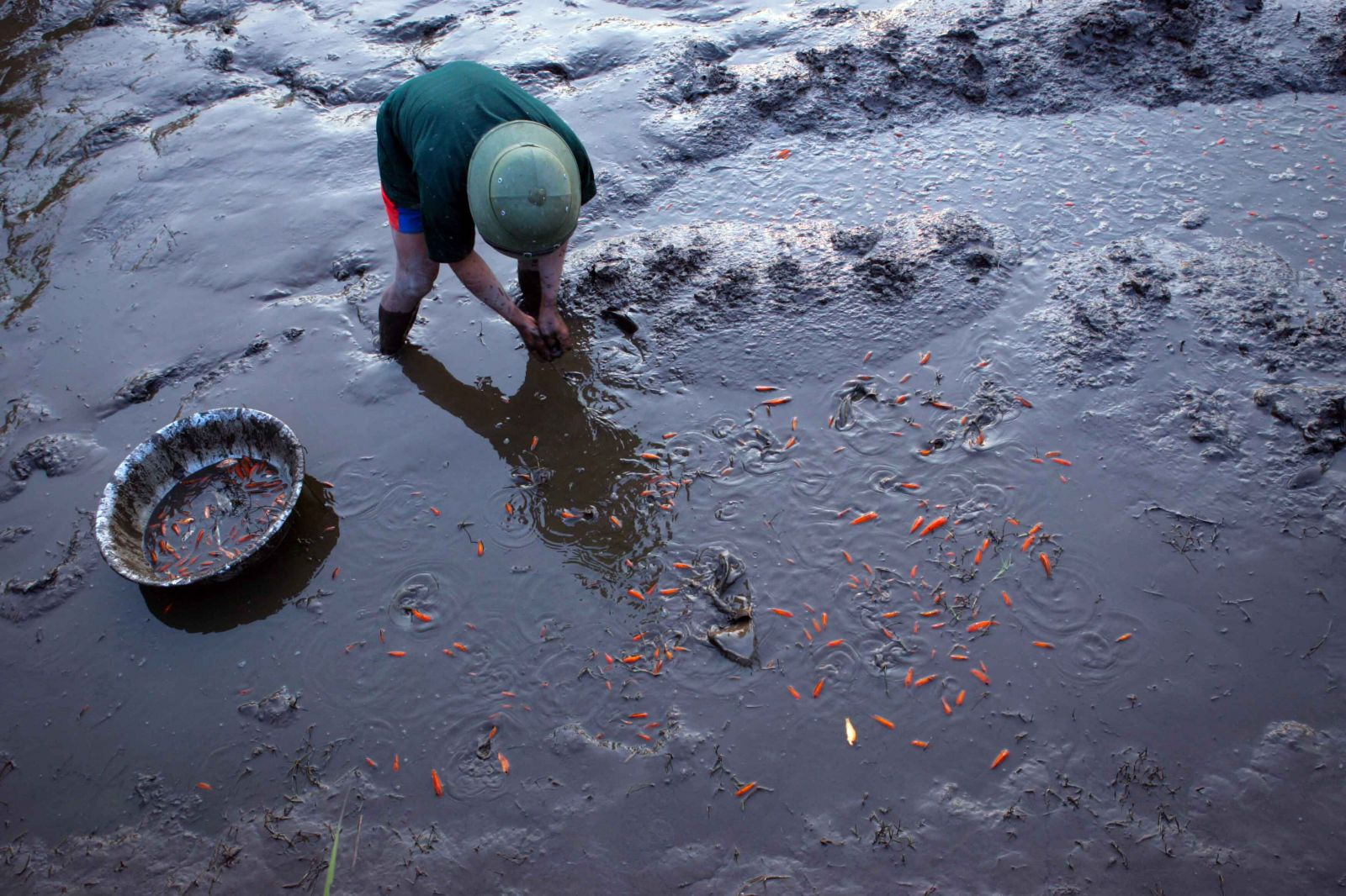 Trên mặt ao đã rút nước, người dân thu hoạch cá chép đỏ bán cho thương lái.