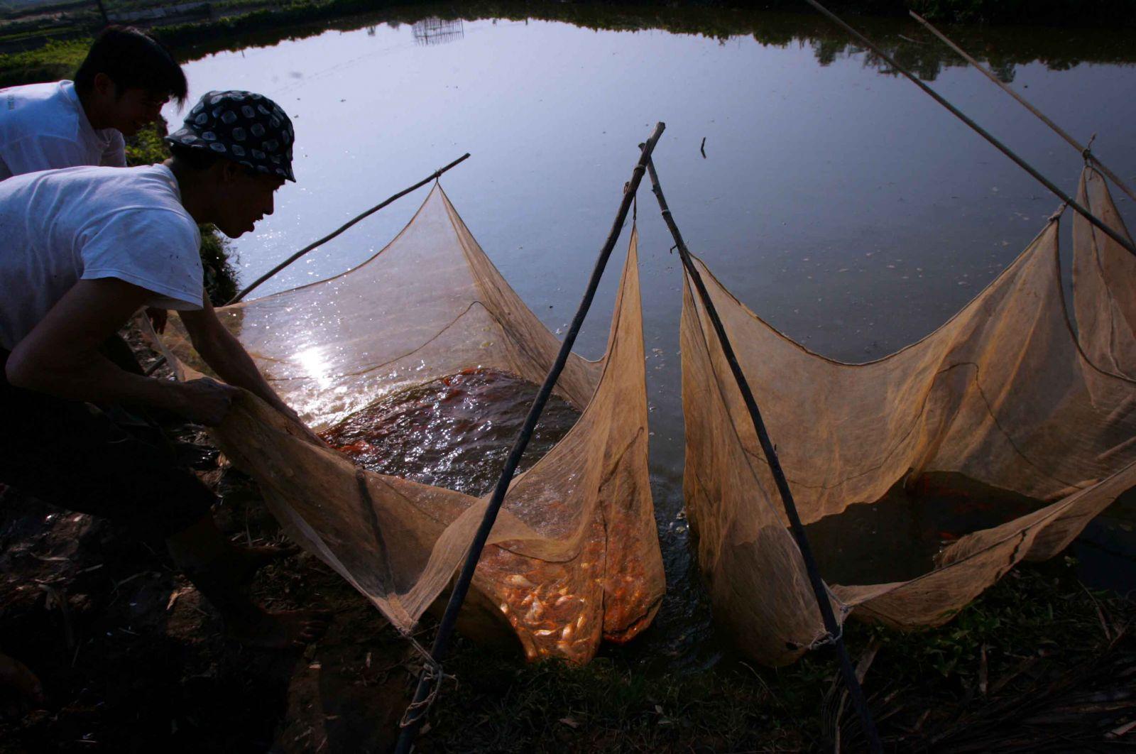 """Trước khi đem bán một ngày, cá được đưa vào """"lồ ép""""..."""