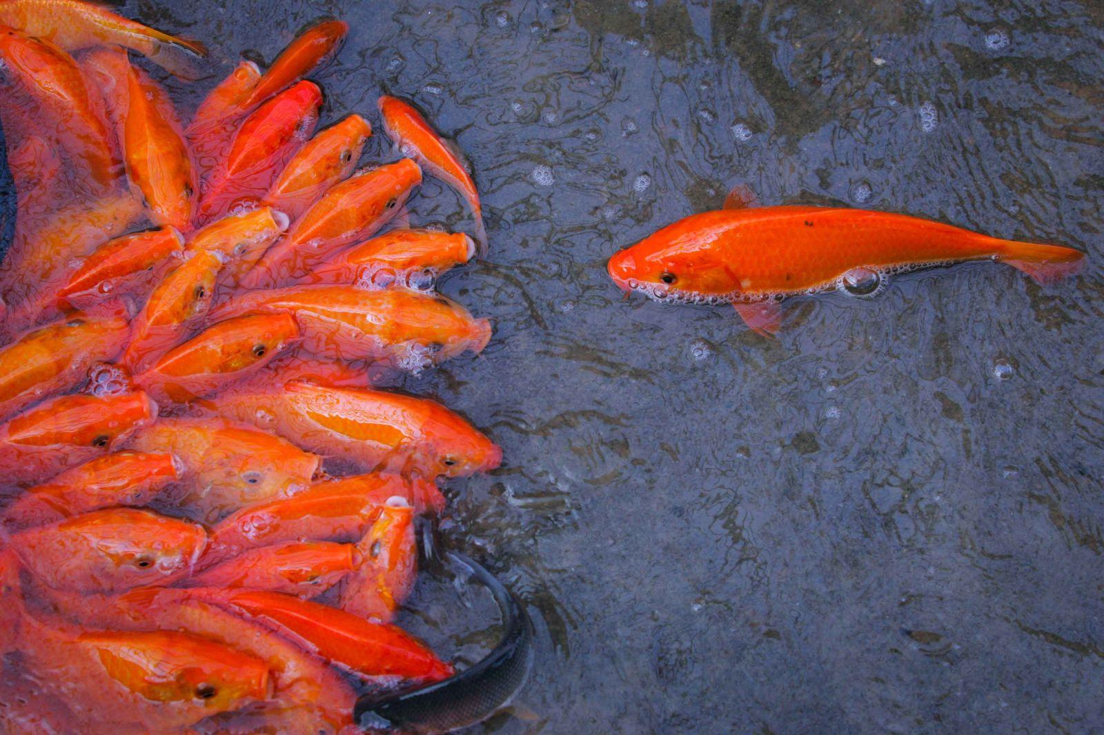 Cá chép đỏ có kích thước khoảng ba ngón tay là đủ điều kiện thu hoạch.