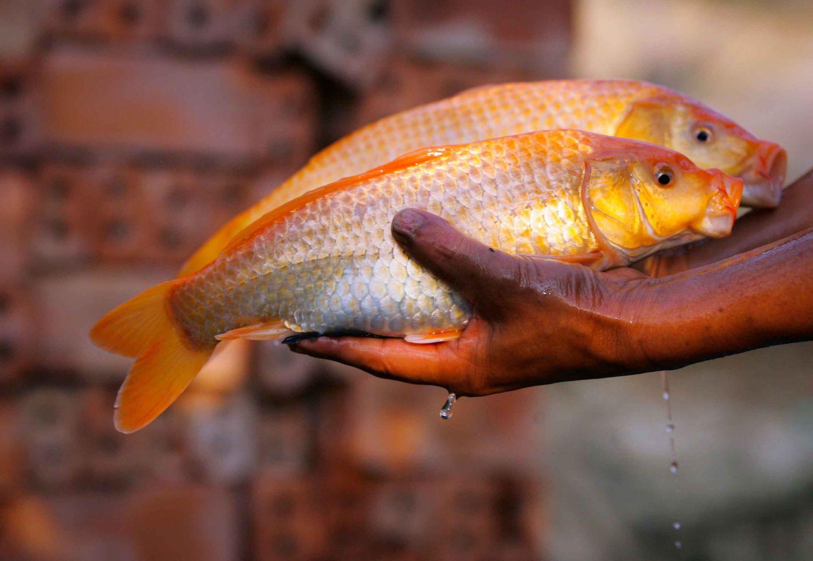Những chú cá bố mẹ được tuyển chọn có chất lượng tốt nhất sẽ được giữ lại nhân giống cho năm sau.
