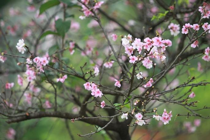Hoa anh đào bung nở rực rỡ đón Tết Kỷ Hợi