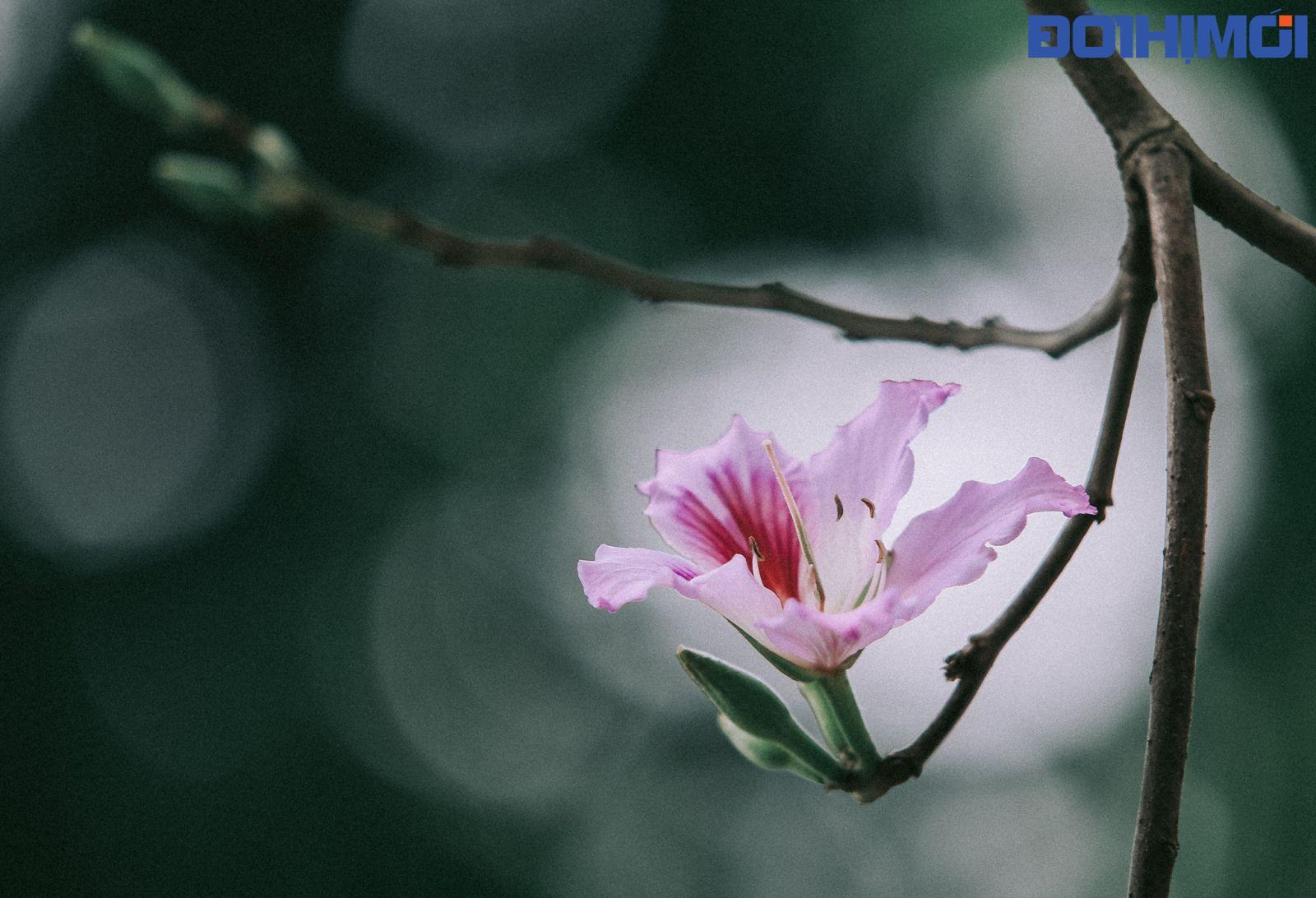 Hoa ban Tây Bắc nở tuyệt đẹp giữa lòng Hà Nội