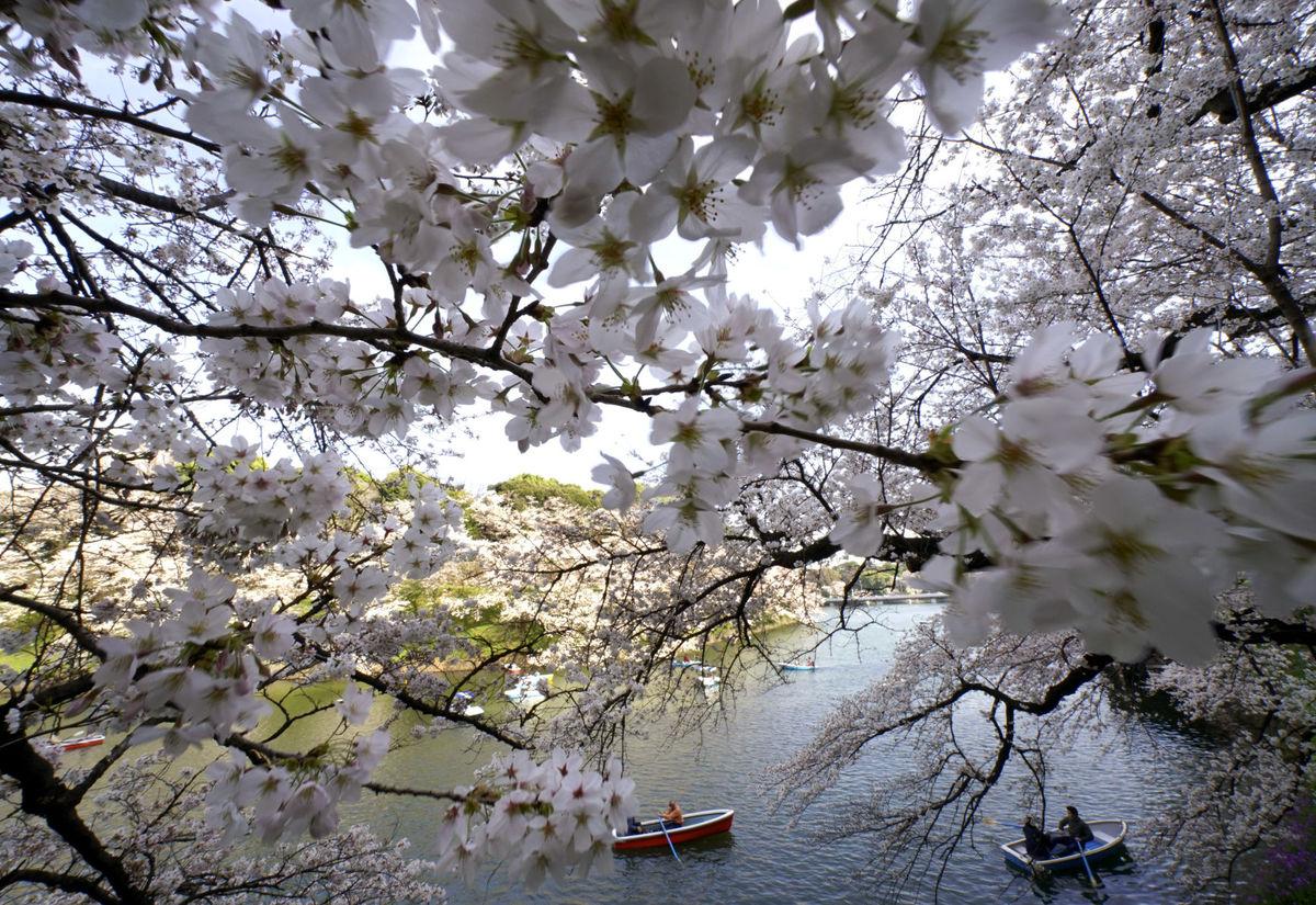 Chèo thuyền trên sông ngắm hoa anh đào là một trong những hoạt động yêu thích của người dân Nhật. (Ảnh: AP)