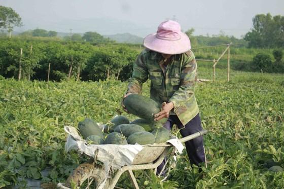 Hơn 1.130 tấn dưa hấu ứ đọng, nông dân Quảng Ngãi lao đao
