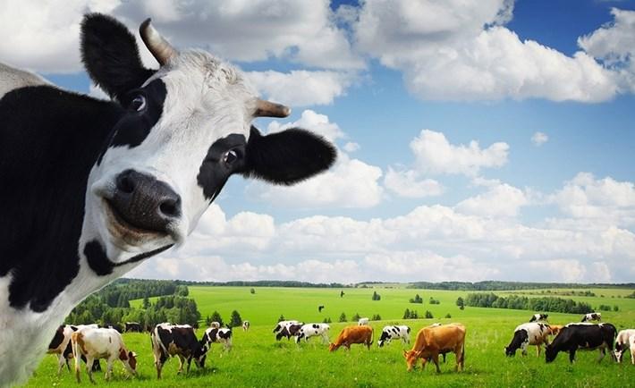 Toyota sẽ dùng phân bò sản xuất năng lượng cho xe điện