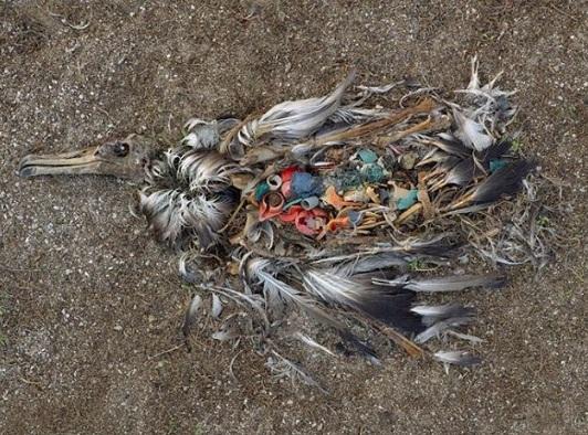 Một con hải âu chết vì ăn phải quá nhiều nhựa
