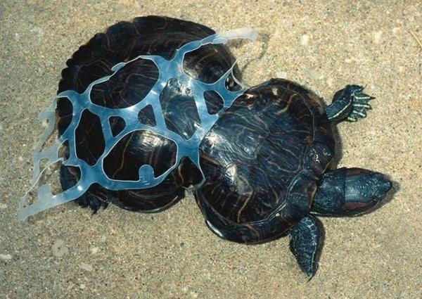 Chú rùa con bị mắc kẹt bởi miếng nhựa