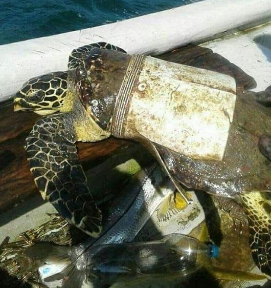 Rùa biển đáng thương bị mắc kẹt trong phần còn lại của cái xô nhựa