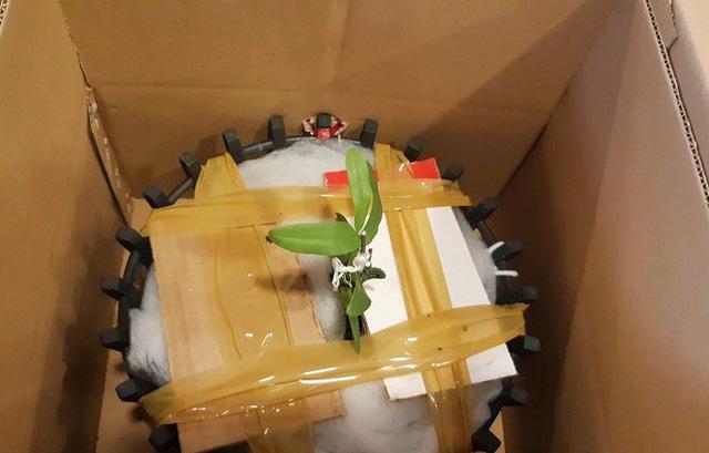 Mầm lan được chiết ra từ gốc. Ảnh: Vietnamnet