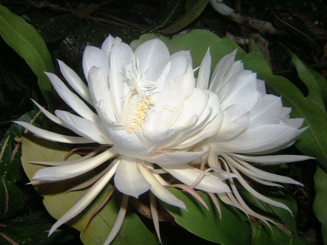 Sự hiếm có và vẻ đẹp tinh khôi là những đặc điểm khiến hoa Kadupul trở nên thật đặc biệt.