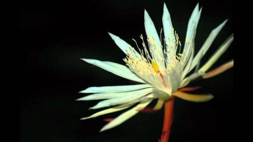 Loài hoa quý hiếm này chủ yếu được tìm thấy trong các khu rừng ở Sri Lanka.
