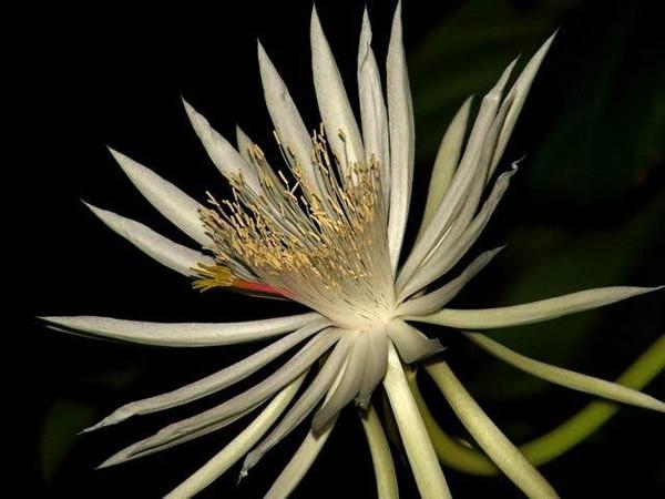 Chỉ một số ít người mới có cơ hội được chiêm ngưỡng vẻ đẹp của hoa Kadupul bởi chúng chỉ nở vào giữa đêm và lại tàn trước khi bình minh đến.