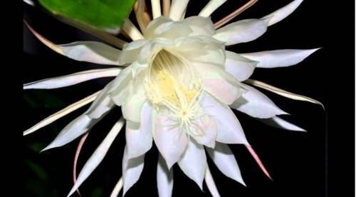 Cho đến tận bây giờ, chưa có nhà thực vật học nào có thể đưa ra lời giảỉ thích chính xác về cái chết đột ngột của loài hoa này.