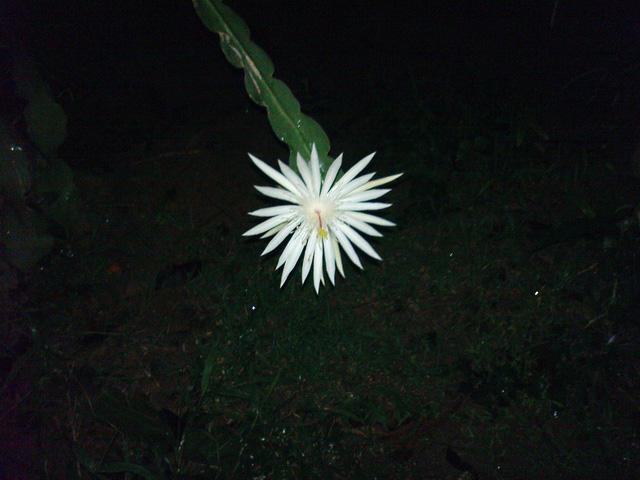Cho đến nay, chưa nhà vườn nào trên thế giới trồng được loại cây xương rồng này mà khiến chúng nở ra hoa Kadapul.