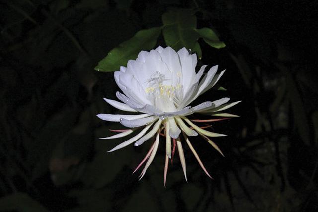 Thậm chí, cánh hoa mong manh đến nỗi chỉ cần có tác động nhẹ từ bên ngoài là chúng sẽ rụng.