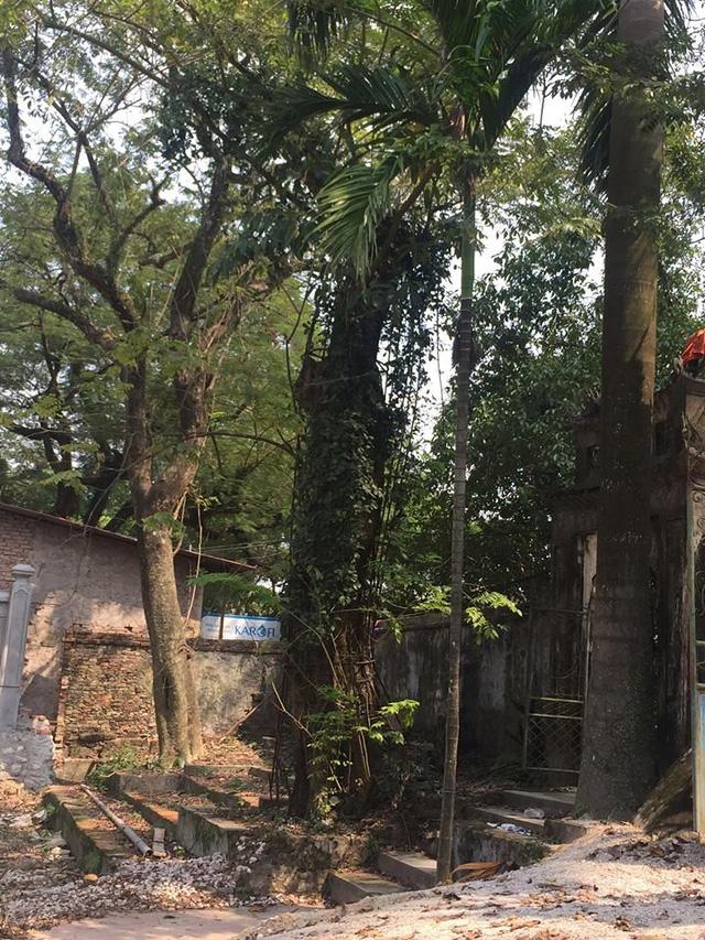 Cây sưa có tuổi đời hơn 100 năm ở chùa Phụ Chính. Ảnh: Văn Phú